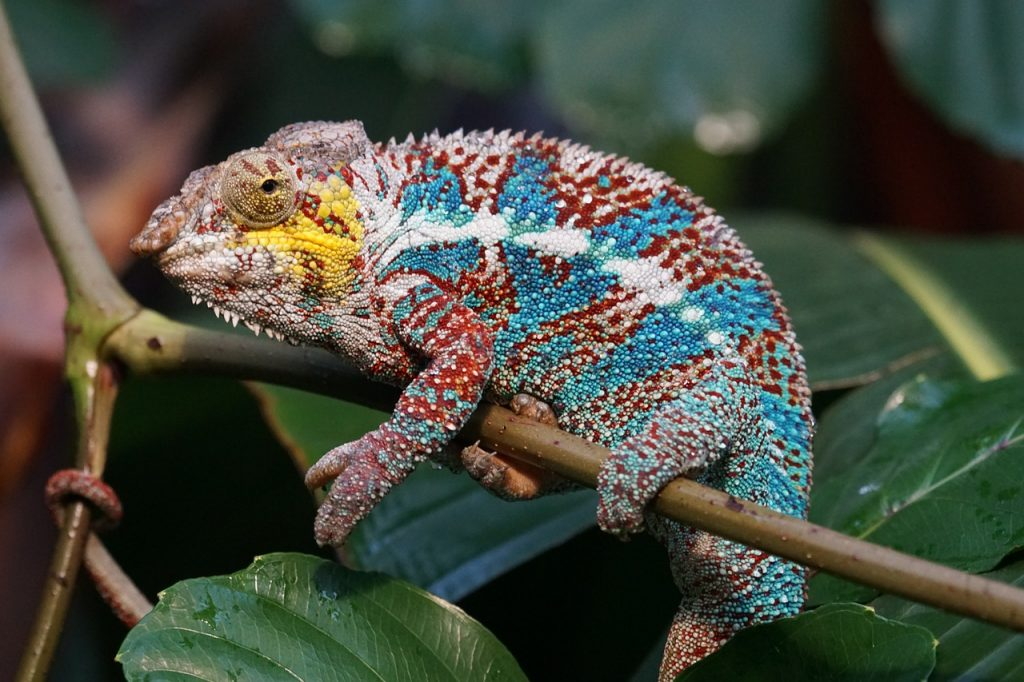 Chameleon on Hotel Grounds in Madagascar